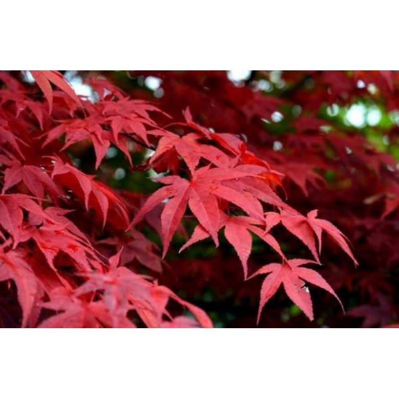 Клен японский красный