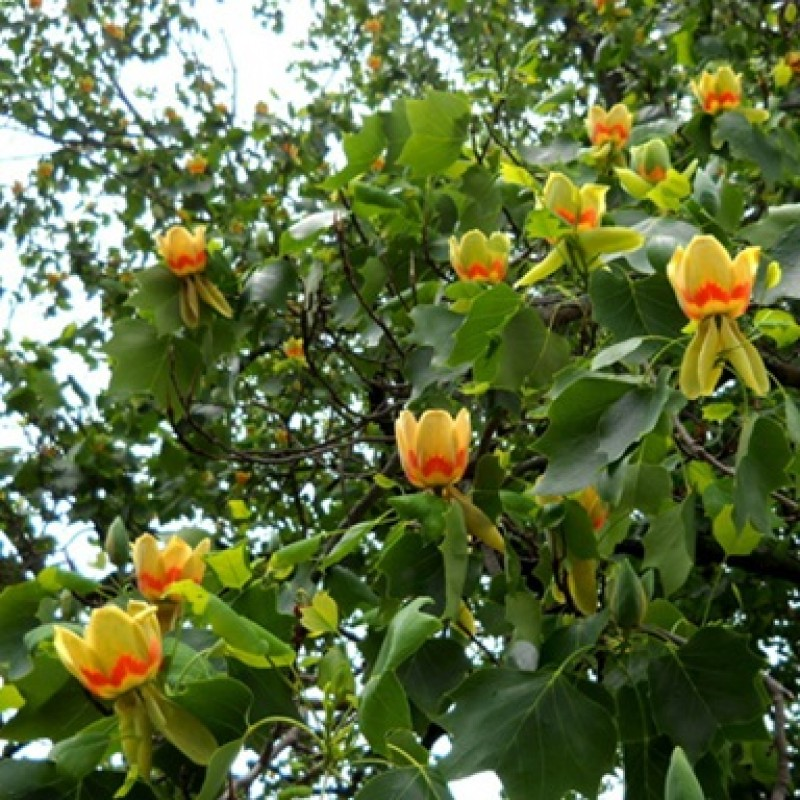 Лириодендрон тюльпановый, или тюльпанное дерево