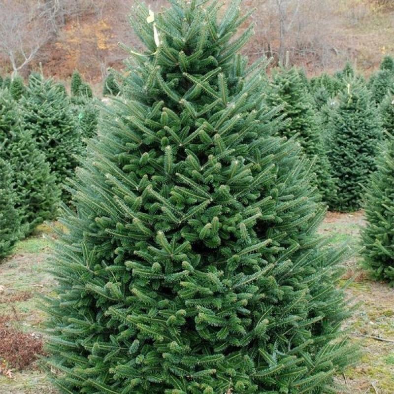 Ель колючая (Picea pungens) Glauca